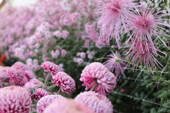 Chrysanthemums Norton Vic, Pink Splendor and Peter Magnus