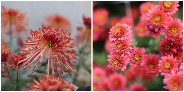 Chrysanthemum Judith Baker and Rose Maiko