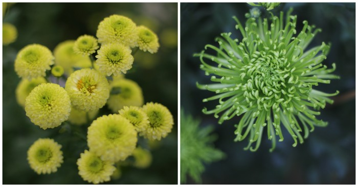 Chrysanthemum Kermit and Anastasia De Green