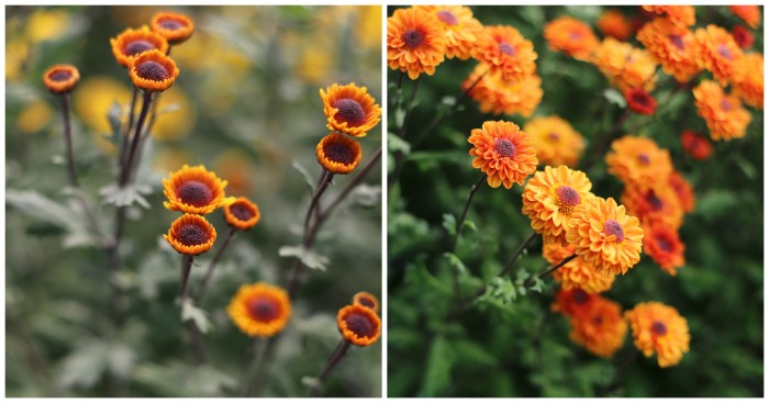 Chrysanthemum Viking Orange
