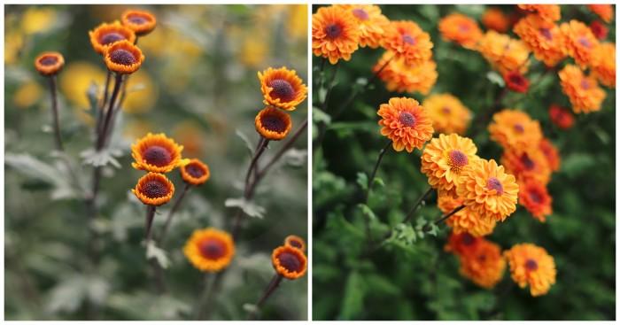 Chrysanthemum Viking Orange