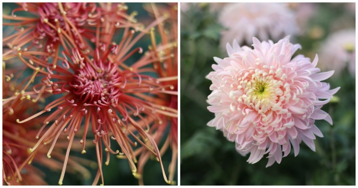 Chrysanthemum Senkyo Kenshin and Seaton's J'Dore