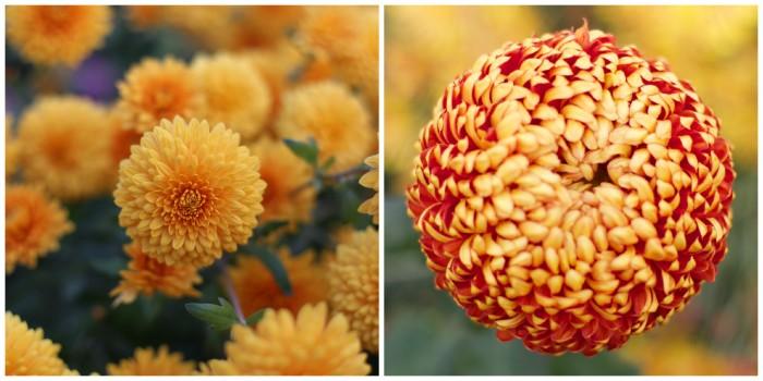 Chrysanthemum Myss Goldie and Heather James