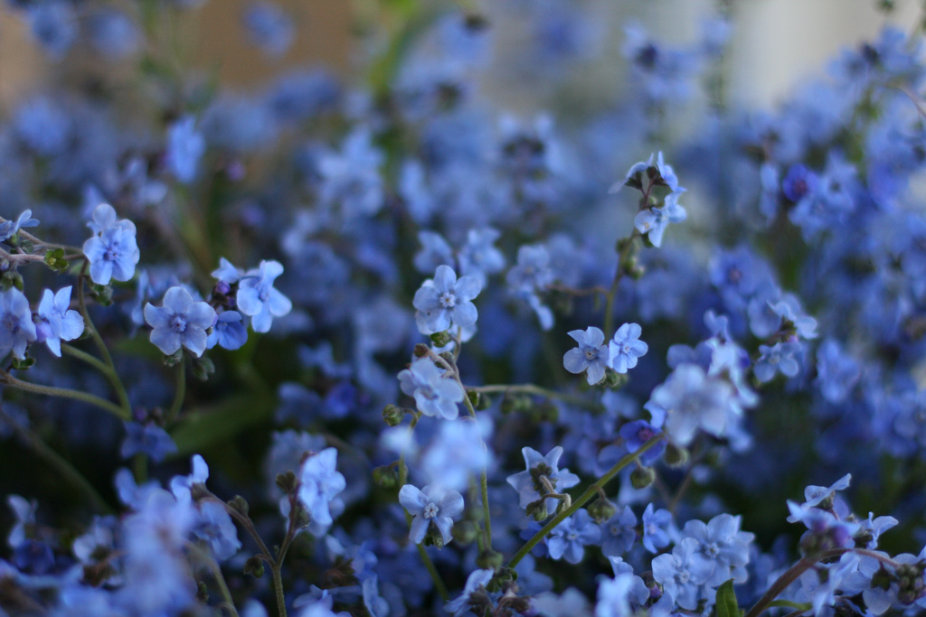 Flower Focus Chinese Forget Me Nots Floret Flowers
