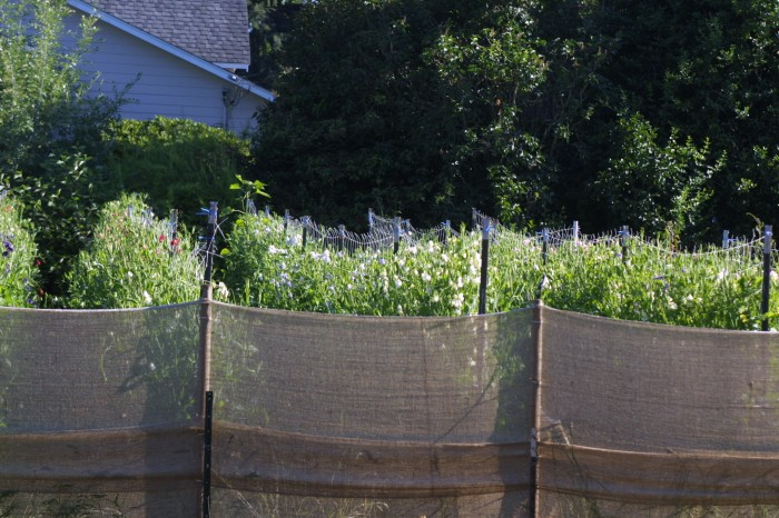 Looking through the burlap wind barrier to the sweet pea patch