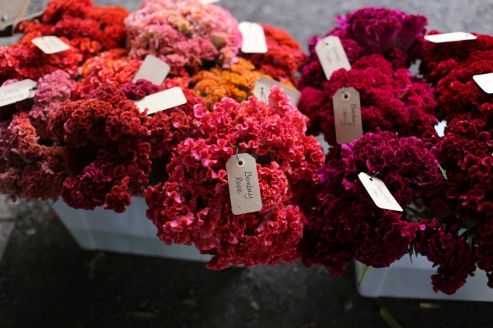 Celosia varieties waiting in line to have their portrait taken.
