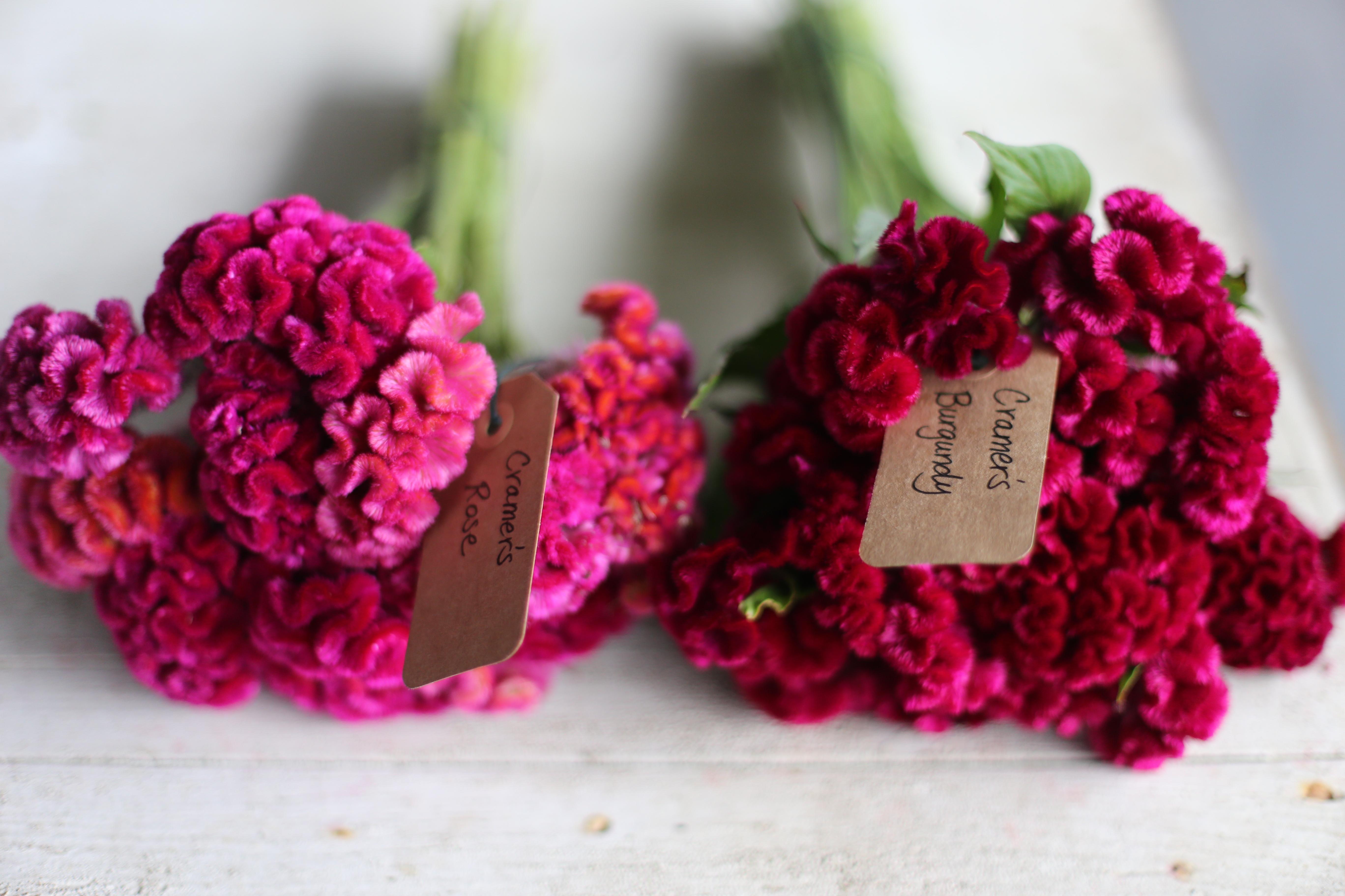 FLOWER FOCUS: Celosia - Floret Flowers