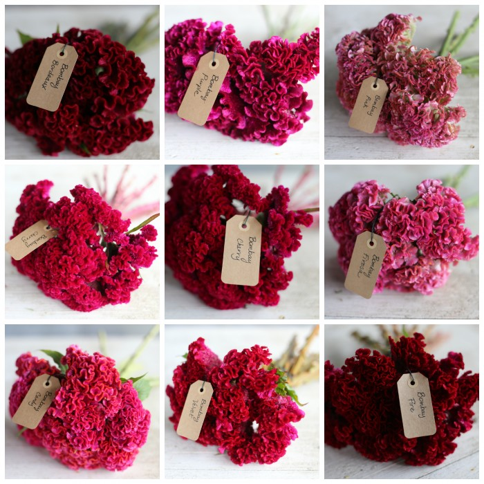 red:pink:celosia