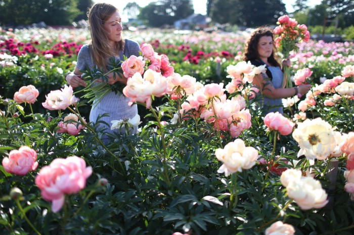 Erin and Vanessa at Floret harvest peonies at North Field Farm
