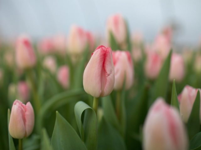 Tiptoeing Through Tulips After Madisons >> Plant Tulips Now For Beautiful Spring Blooms Floret Flowers