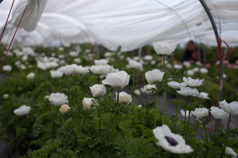 How To Grow Anemones Floret Flowers
