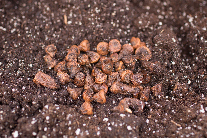 Floret_How To Grow Anemones-4