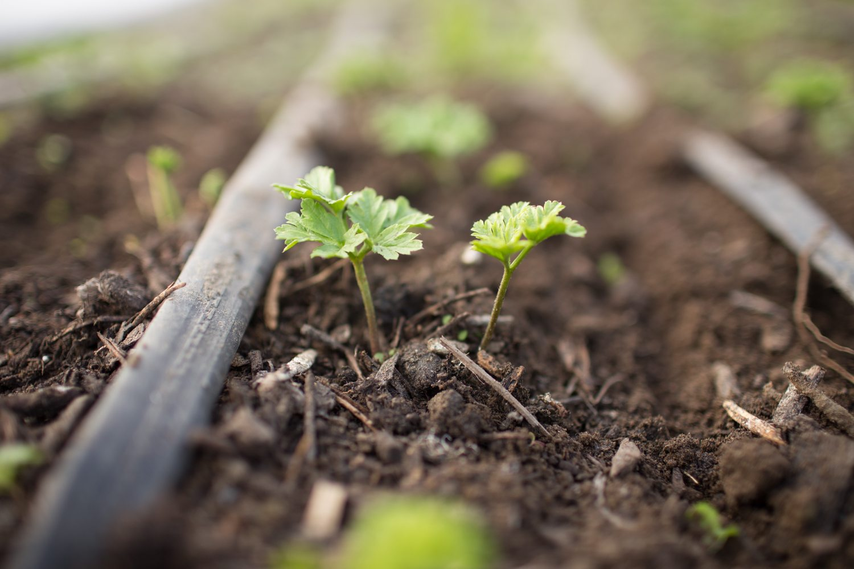 Floret_How To Grow Anemones-8