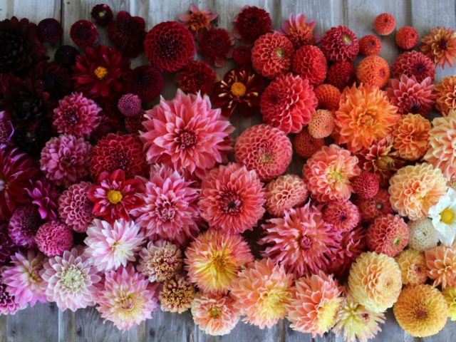 Floret_How To Grow Dahlias-1