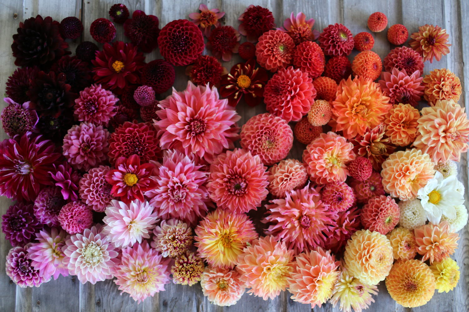 How To Grow Dahlias Floret Flowers