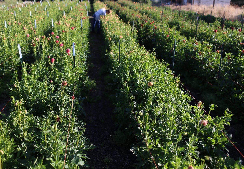 Floret_How To Grow Dahlias-12