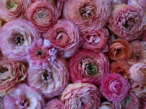 closeup of ranunculus blossoms in shades of pink