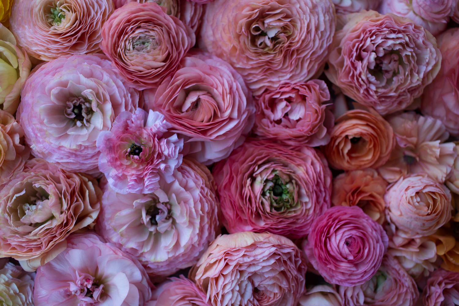 How To Grow Ranunculus Floret Flowers