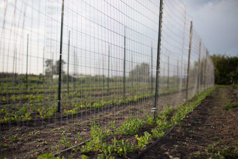 Sweet pea field
