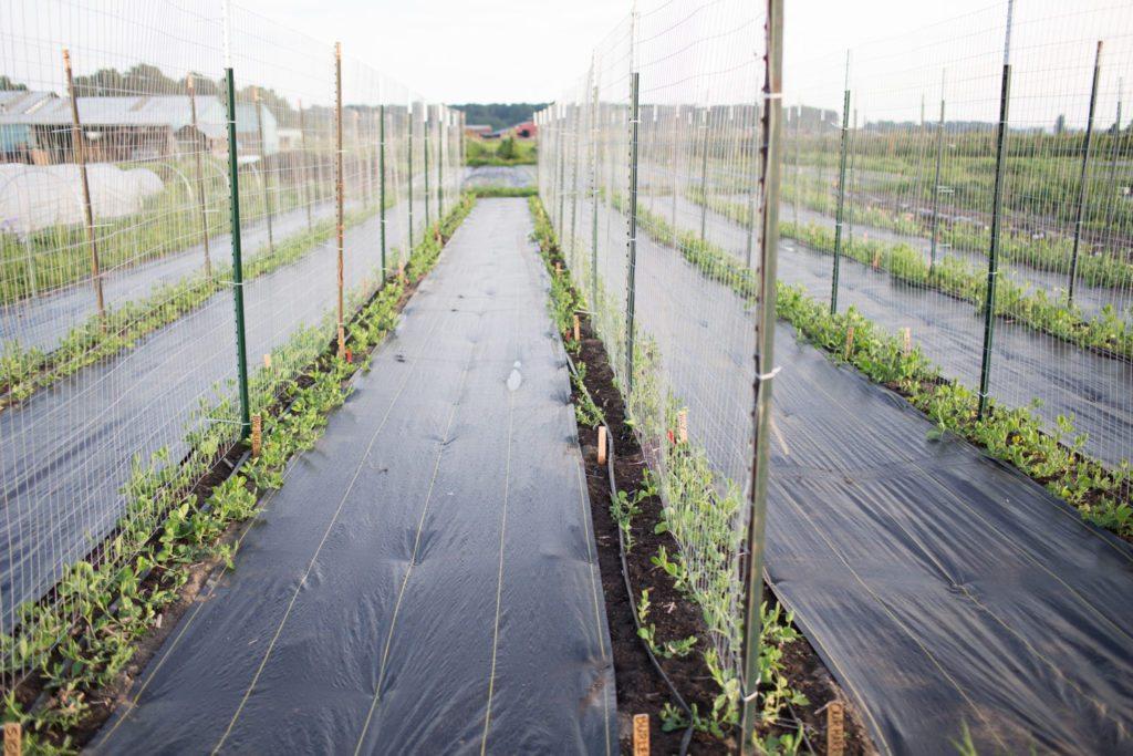 Floret_How To Grow Sweet Peas-15