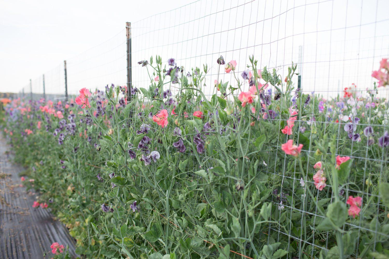 Floret_How To Grow Sweet Peas-16