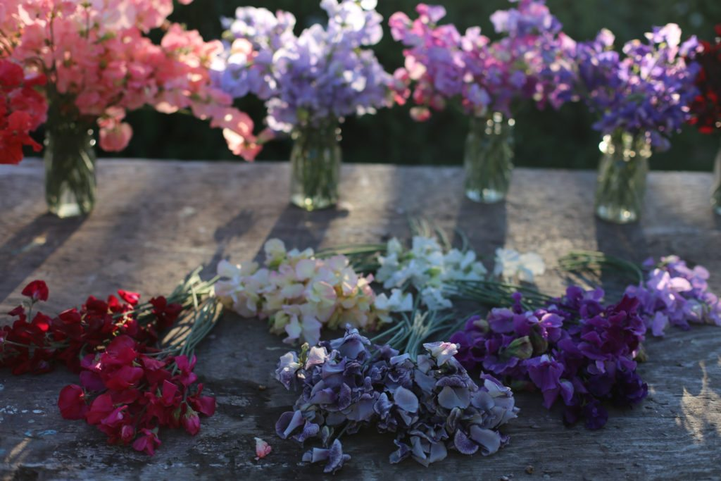 Floret_How To Grow Sweet Peas-3