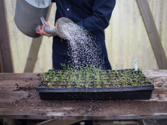 Watering a seed tray