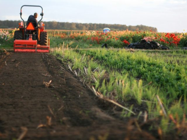 tilling organic compost into flower field