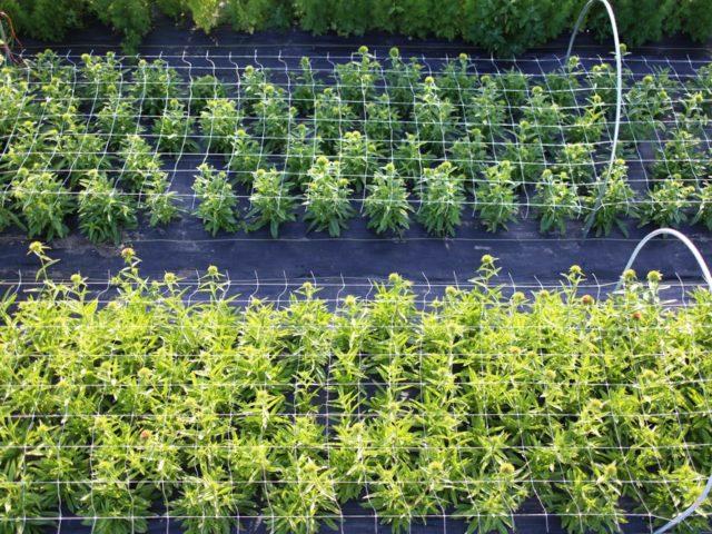 A field of plants