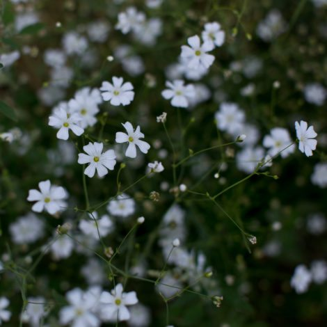 floret_annual-babys-breath_covent-garden_img_7365