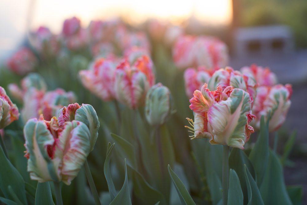 floret_blog_tulips-2