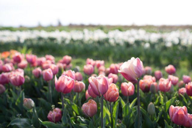 Floret Flower Farm Tulip Field