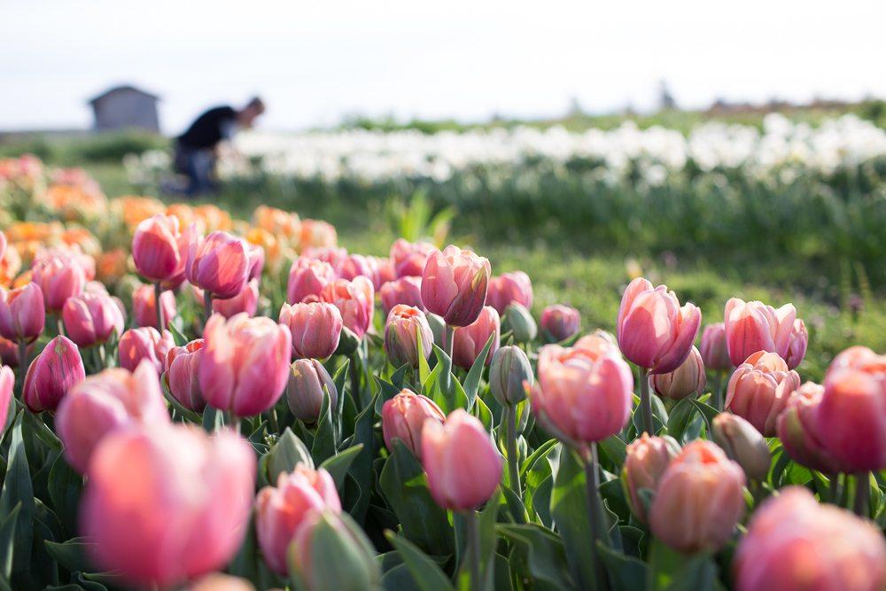 floret_blog_tulips-4