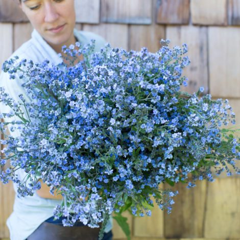 floret_chinese-forget-me-not_blue-showers__img_3560