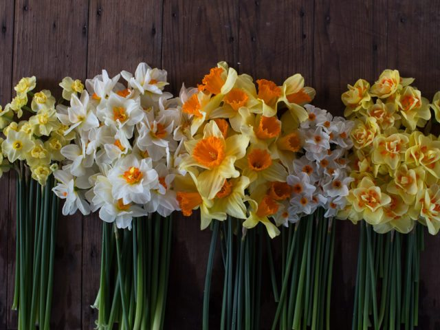 floret_daffodil_sunshine_collection-3