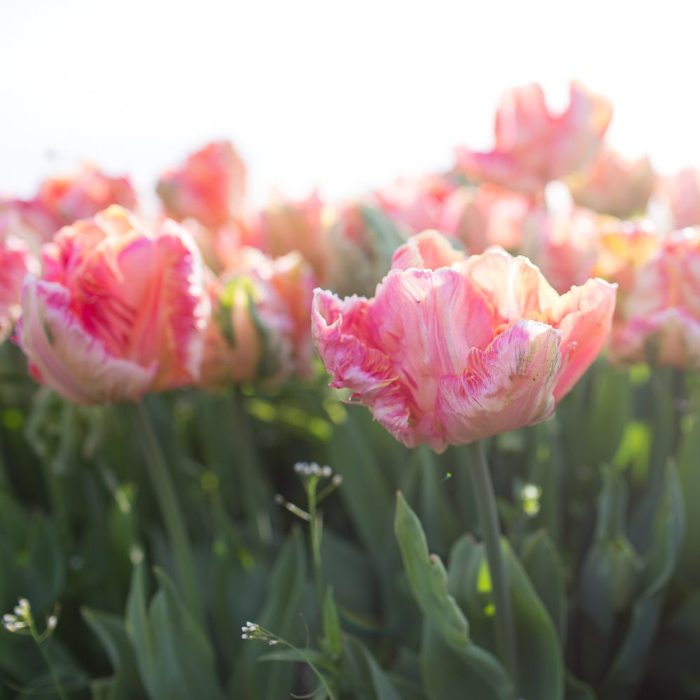 How to grow tulips floret flowers there are a few different methods for growing these showy spring bloomers depending on whether you simply want to add mightylinksfo