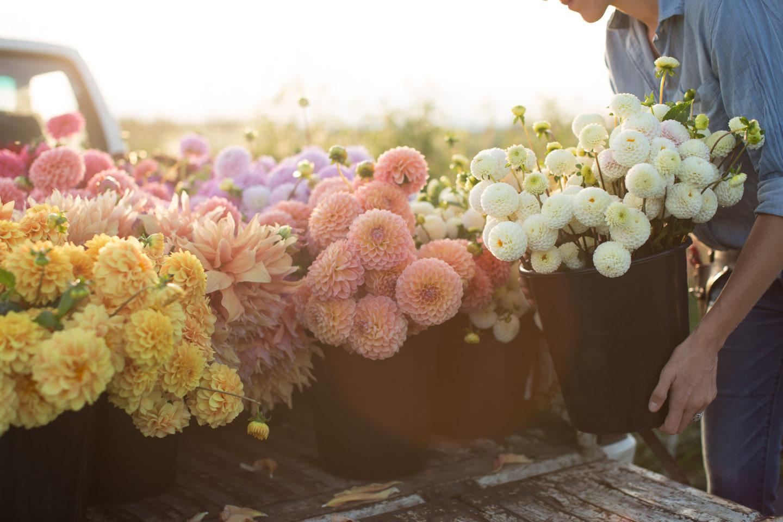 Florets Favorite Dahlia Varieties Floret Flowers