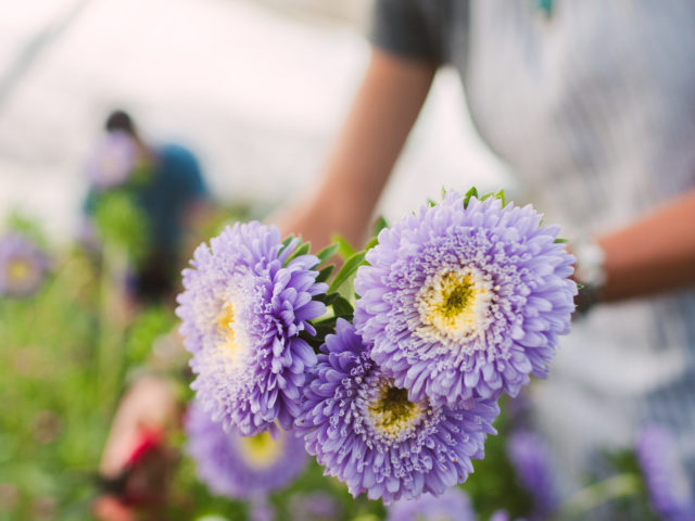 Harvesting asters at Floret Flower Farm