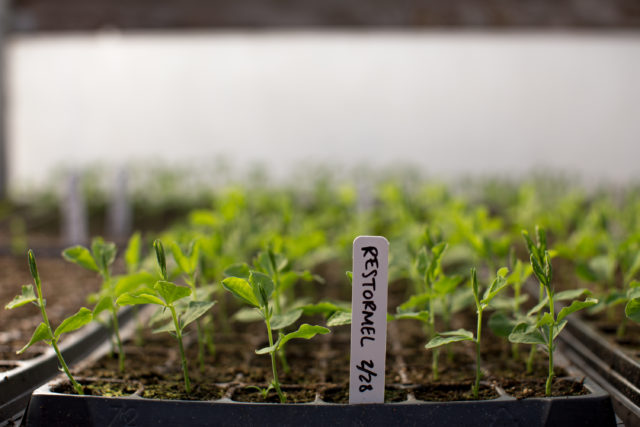 sweet pea seedlings growing in trays
