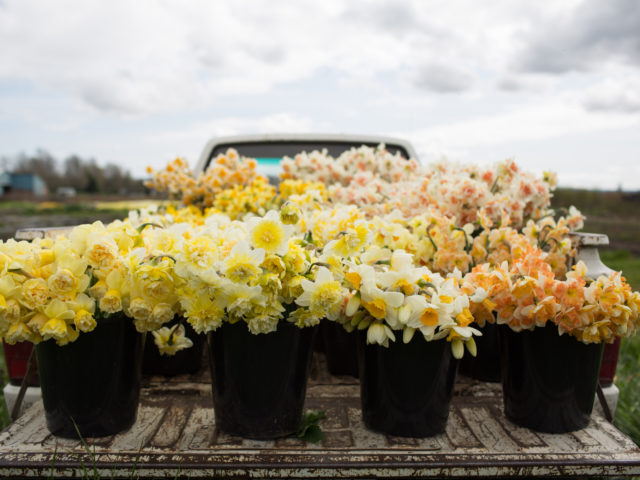 Buckets of daffodils in a truck bed