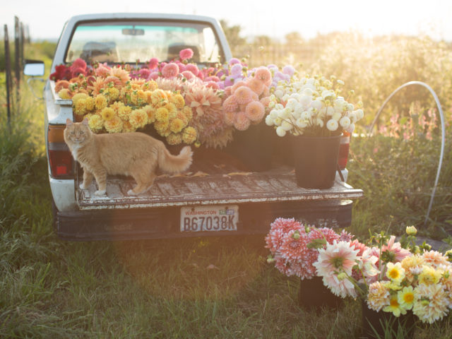 Timmy the cat with Floret truck full of dahlias