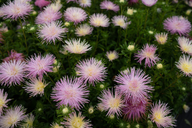 China aster at Floret