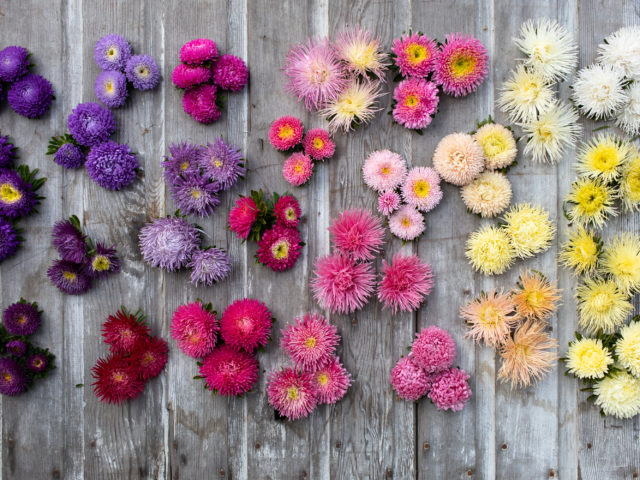 china aster flower heads arranged by color on a wood surface