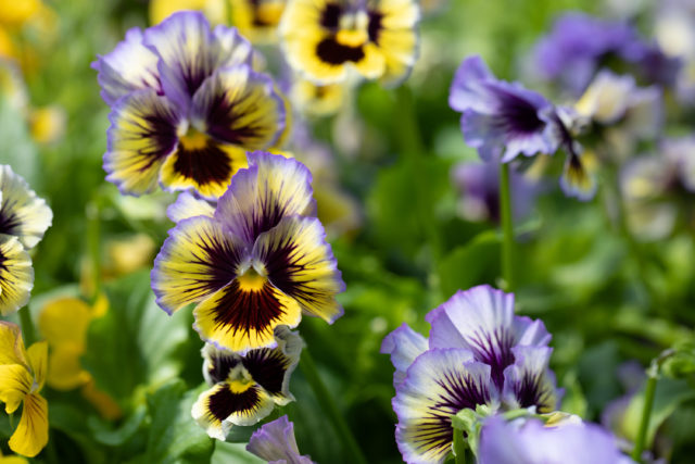 Close up of violas and pansies at Floret
