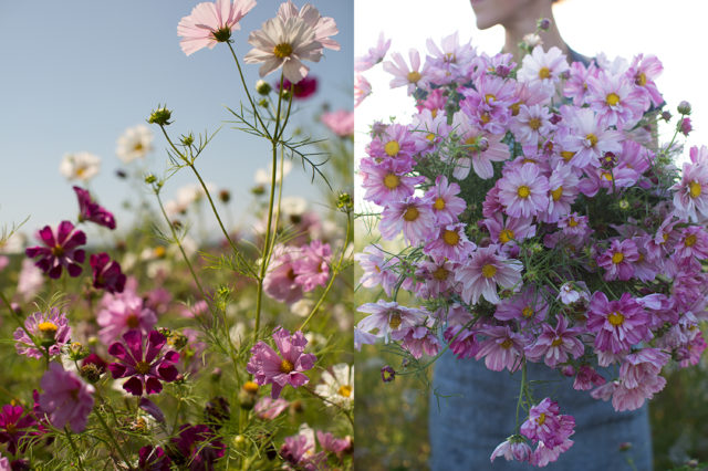 Armload of cosmos flowers at Floret Flower Farm