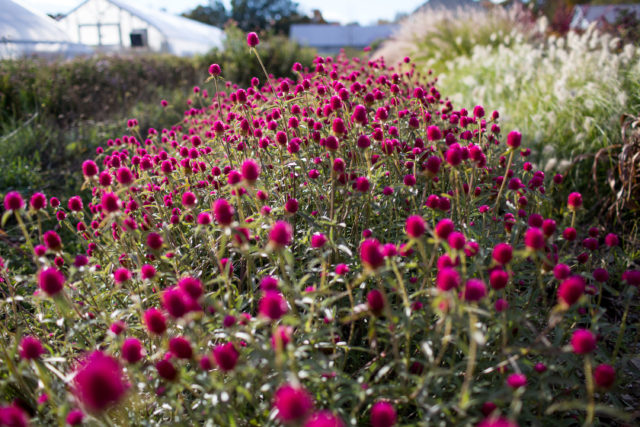 Field of globe amaranth gomphrena