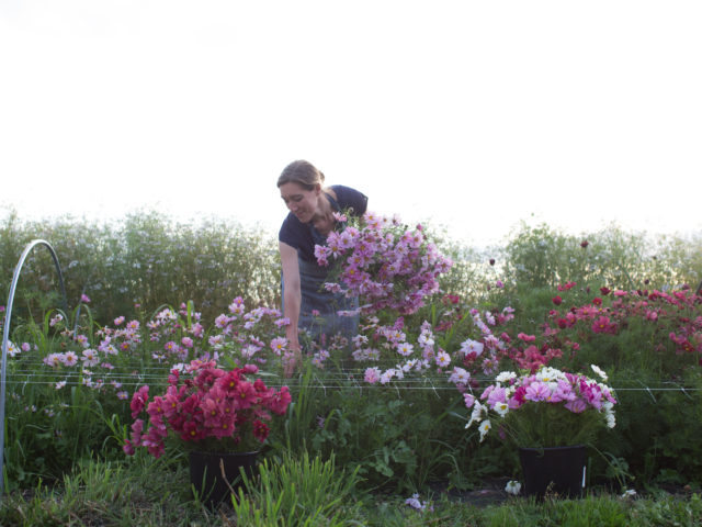 Erin Benzakein harvesting cosmos flowers in a field