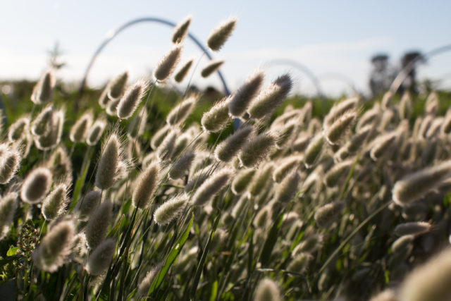 Bunny Tail grass at Floret