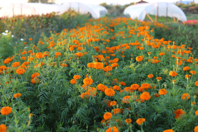 Field of marigolds