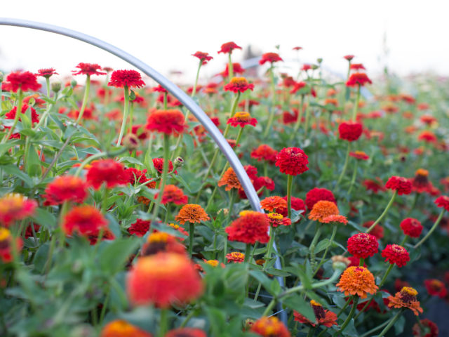 Red zinnias in field at Floret Flower Farm
